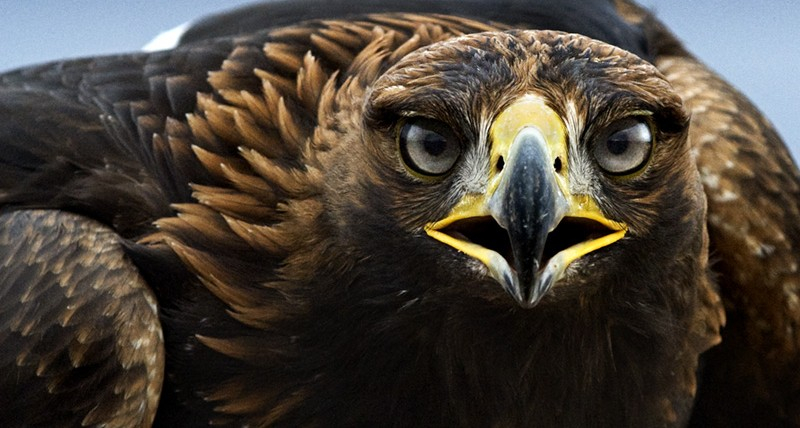 aguila_real