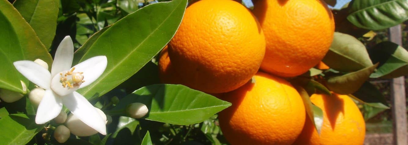 cultivo de la naranja en españa