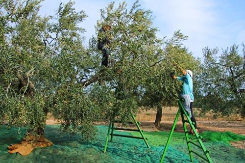 aceite-oliva-recoleccion