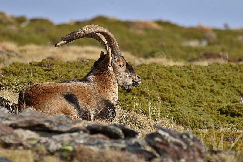 Sierra-Nevada-cabra-montes