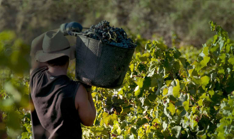 el-vino-español-vendimia
