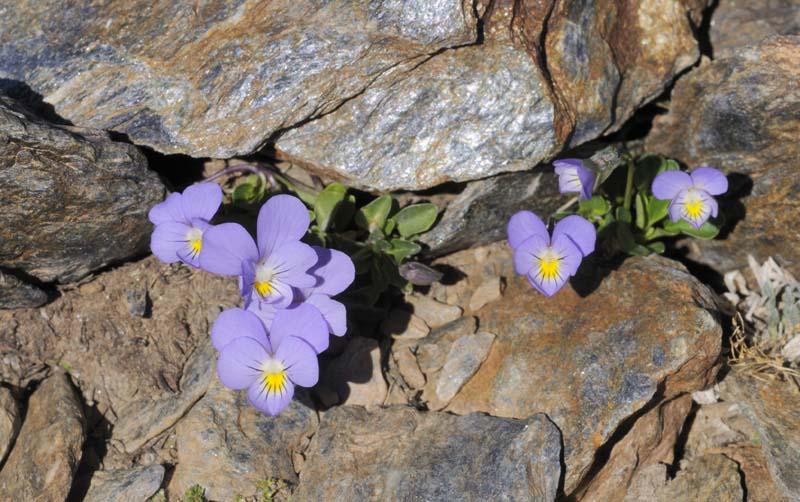 la-violeta-de-Sierra-Nevada