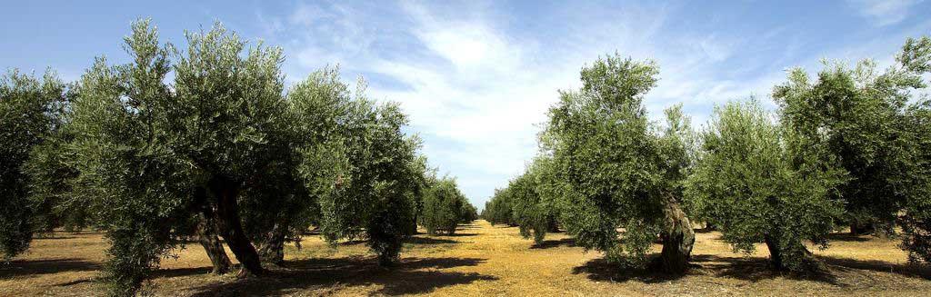 cultivo-del-olivo